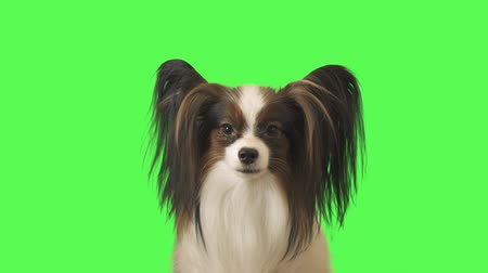 Beautiful dog Papillon is talking and running away on green background stock footage video