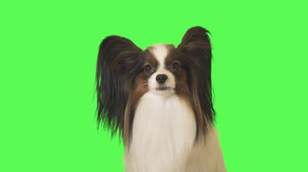 Beautiful dog Papillon is talking to the camera and yawning on green background stock footage video
