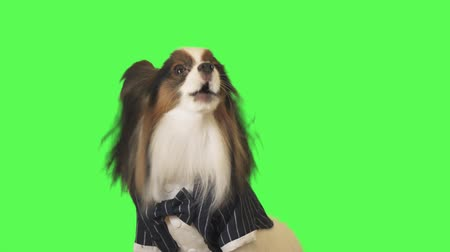trikolóra : Beautiful dog Papillon in a business suit with a bow tie is talking to the camera on green background stock footage video Dostupné videozáznamy