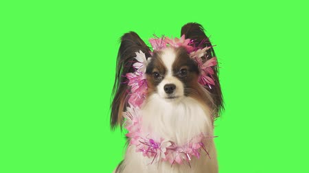 Beautiful dog Papillon in a garland of flowers is looking intently at the camera on green background stock footage video