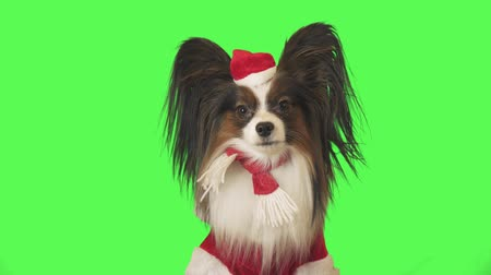 Beautiful dog Papillon in Santa Claus costume is looking intently at the camera on green background stock footage video
