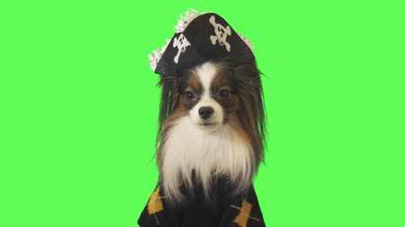 Beautiful dog Papillon in a pirate costume is talking on green background stock footage video