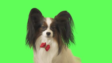 дружелюбный : Beautiful dog Papillon with a red bow is talking on green background stock footage video