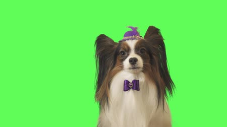 tv channel : Beautiful dog Papillon in a purple hat with a feather and bow is talking on green background stock footage video