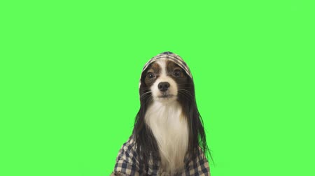 üç renkli : Beautiful dog Papillon in clothes with a hood is looking at camera on green background stock footage video
