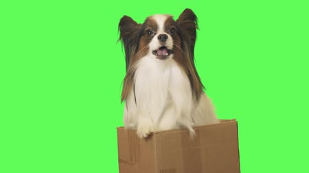 Beautiful dog Papillon in a cardboard box is talking on green background stock footage video