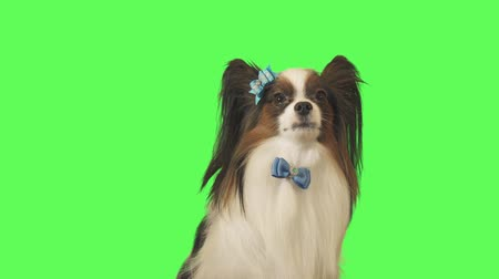 Beautiful dog Papillon with a blue bow is talking on green background stock footage video