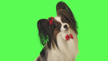 Beautiful dog Papillon with a red bow is looking at camera on green background stock footage video