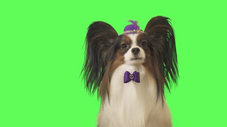 Beautiful dog Papillon in a purple hat with a feather and bow is talking on green background stock footage video