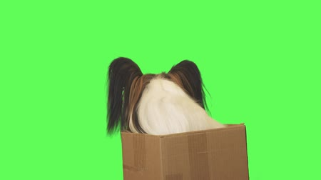 Beautiful dog Papillon in a cardboard box looks around on green background stock footage video