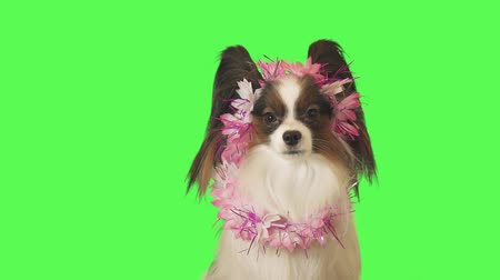 trikolóra : Beautiful dog Papillon in a garland of flowers is looking intently at the camera on green background stock footage video