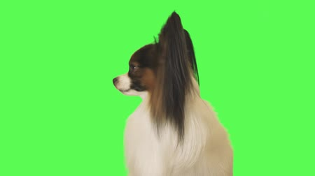 Beautiful dog Papillon looks around on the green background stock footage video