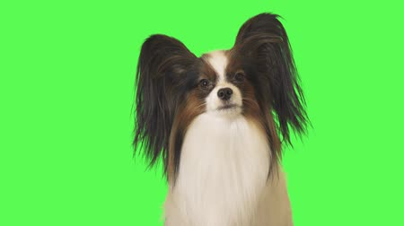 obediente : Beautiful dog Papillon is talking to the camera on green background stock footage video