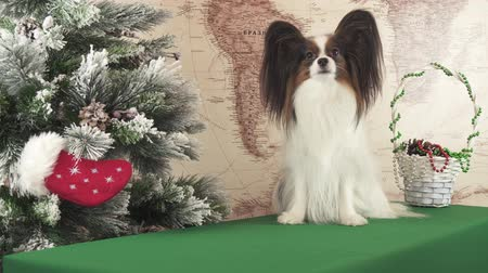Papillon dog is talking near the New Year tree stock footage video