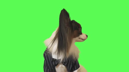 Beautiful dog Papillon in a business suit with a bow tie is talking to the camera on green background stock footage video Стоковые видеозаписи