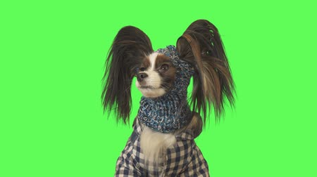 Beautiful dog Papillon in clothes and hat is looking at camera on green background stock footage video