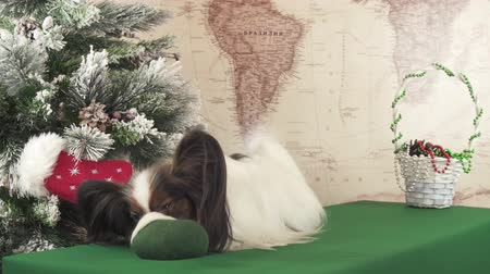 Papillon dog is trying to get a gift from the Christmas felt near the Christmas tree stock footage video