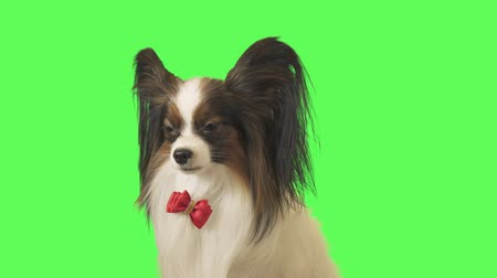 Beautiful dog Papillon with a red bow is talking on green background stock footage video