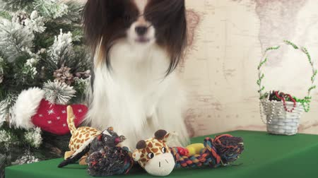 obediente : Papillon dog with soft toys near the Christmas tree stock footage video