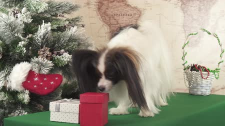 obediente : Papillon dog is looking for his gift near the Christmas tree stock footage video Vídeos