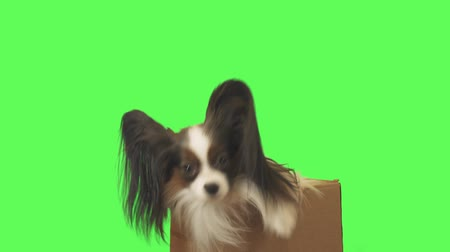 Beautiful dog Papillon in a cardboard box is looking at camera on green background stock footage video