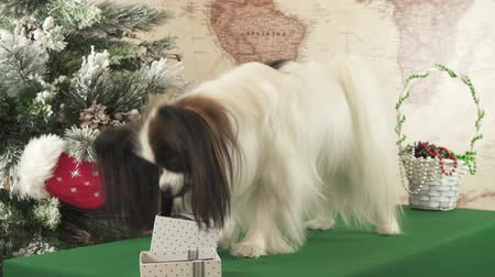 Papillon dog pulls out a toy from a gift box near the New Year tree stock footage video Стоковые видеозаписи