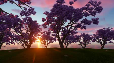 florido : Sunrise cherry trees near river