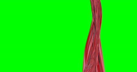 opener : Real Velvet Cloth Stage silk red Curtain open on green screen. Curtain For theater, opera, show, stage scenes. Stock Footage
