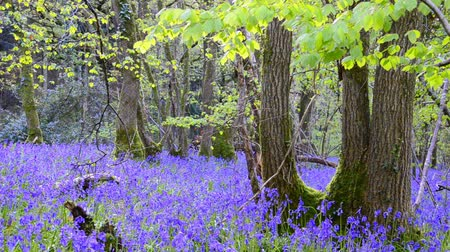 wood : An early spring morning in the heart of Dorset wood carpeted with bluebells, birds singing the dawn chorus in the background and a gentle breeze flowing through the leaves.
