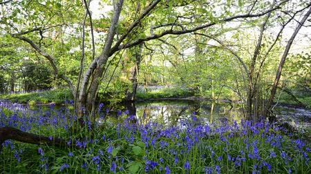 mese : Bluebell woods and pond