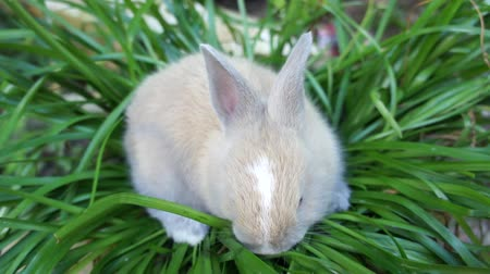 coelho : cute rabbit are eating grass