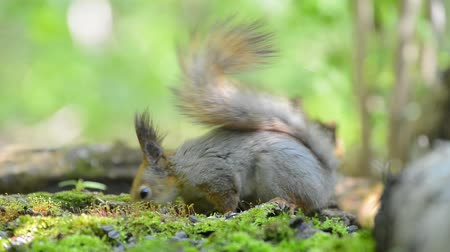 subspecies : Grey squirrel eating food from its paws in the forest