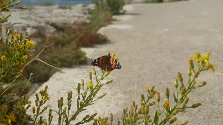 fly away : Black and orange butterfly Vanessa atalanta sitting on the grass Stock Footage