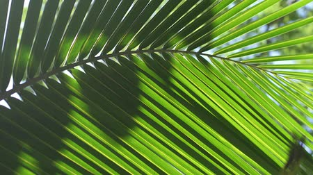 palms isolated : large green leaf, close up Stock Footage