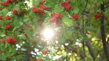 sorbus : the sun shines through the branches of mountain ash in August