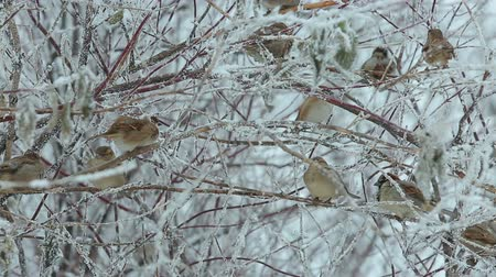 small group of animals : a flock of sparrows in the bushes in the winter