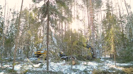 de ativos : harvesting work in the forest in winter