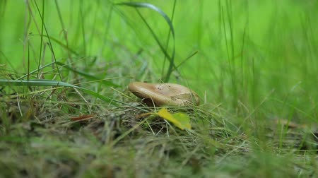 muchomor : Mushroom in the forest grass Wideo