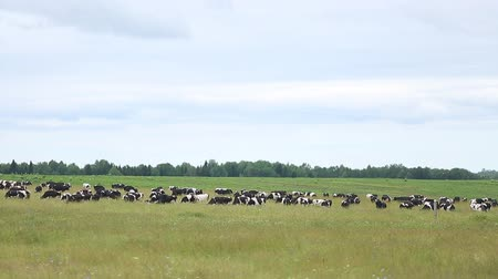 pastoral land : cows graze in the meadow