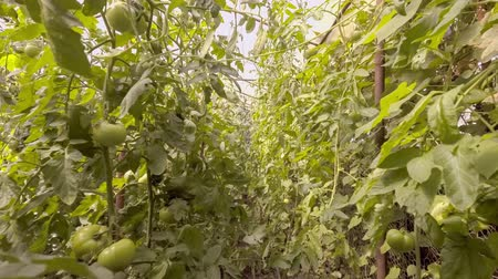 çiftlik : walk through row of red and green tomatoes in greenhouse Stok Video