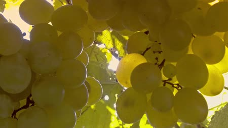 dionysus : Grapes on vine with sun through