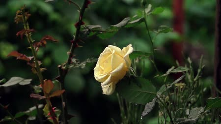gartenarbeit : Rose im Regen Videos