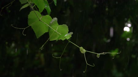 nemli : grapevine in rainy summer day Stok Video