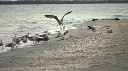 tengeri : Flying sea gulls