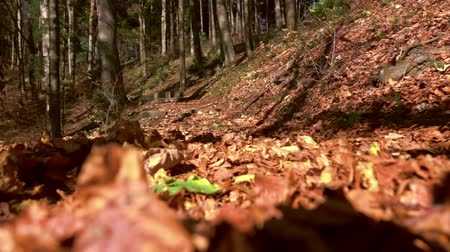 falling leaves : Autumn, falling leaves surrounded by forest, slow motion Stock Footage