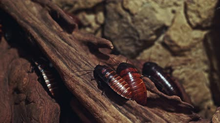 bledý : Cockroaches crawling on a piece of wood