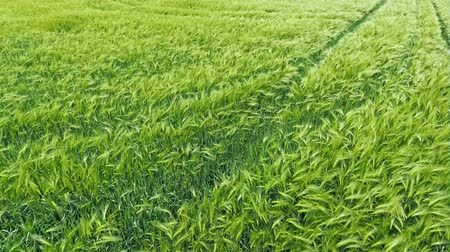 plain : Green wheat field - top aerial view Stock Footage
