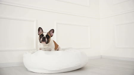 дворняжка : portrait of a dog of a French bulldog at home in a light interior close-up