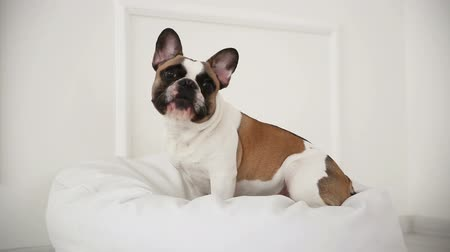 cur : portrait of a dog of a French bulldog at home in a light interior close-up