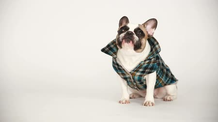 looking down : portrait of a French bulldog in a checked vest on a white background. cheerful little dog with a funny face sitting